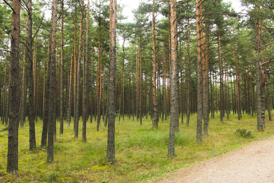 Lithuanian Pine forest