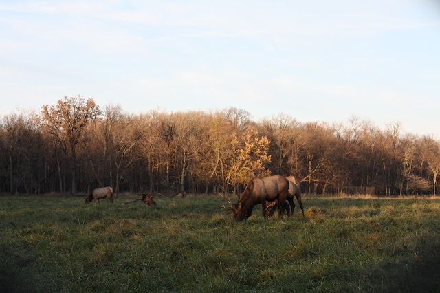 Elk munching in the Elk Pasture at Busse Woods.