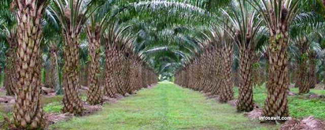 Maraknya perkebunan sawit di Indonesia - Zamrud Khatulistiwa