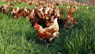 gezen tavuk yumurtası sağlıklı mı - KahveKafeNet