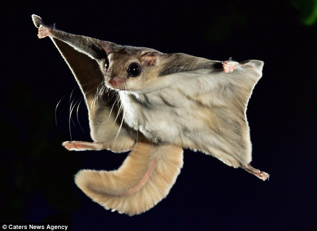 flying squirrel,lake arrowhead,