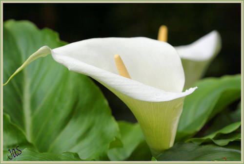 Gardening in africa arum lilies after the winter what could be more beautiful than a creamy white arum lily whether in your garden a pot or the wild arum lilies zantedeschia are native to southern mightylinksfo