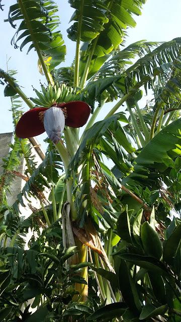 Il fiore e le banane sull'albero vicino alla casa