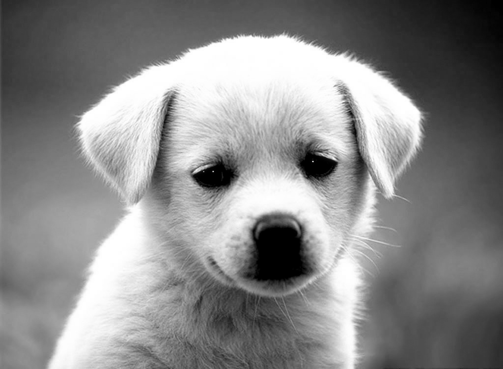 dog puppy funny dogs puppies pets cute animal animals bing lab eyes labrador baby doggie wallpapers face pup pet pupy