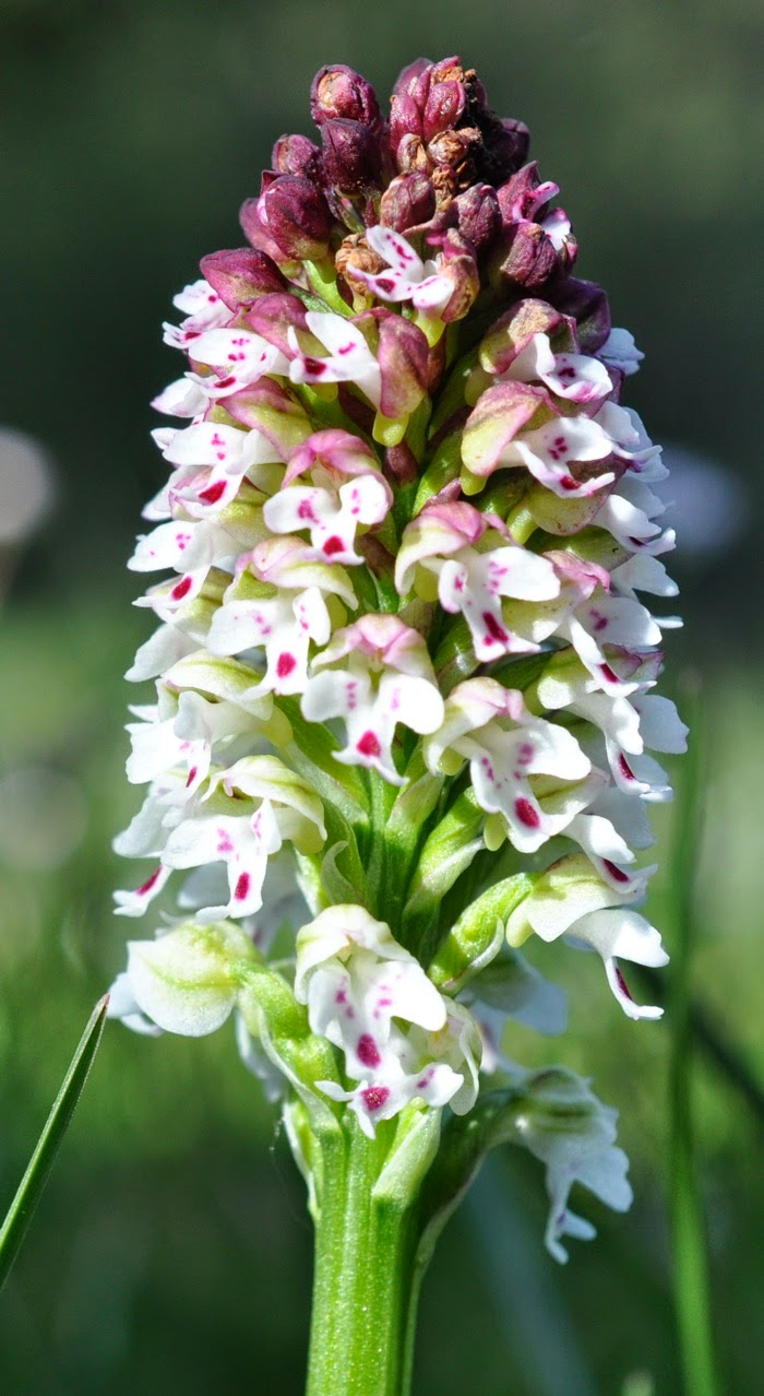 Orchidée brulé