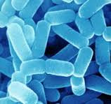 Bakteri Lactobaccillus sp.