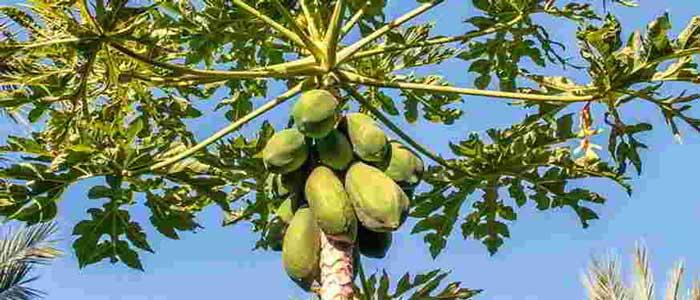 Pepaya Sampai ke Pohonnya Berguna Untuk Kesehatan