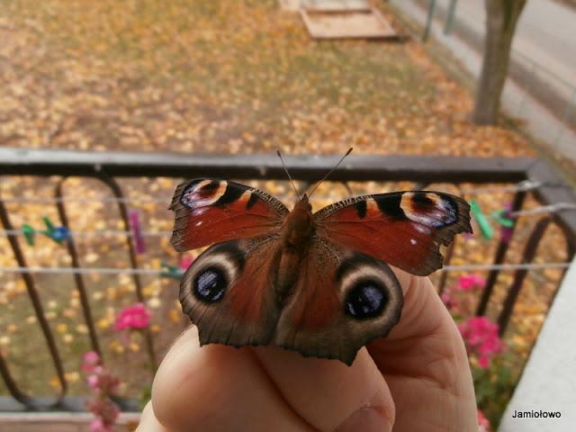 gość na balkonie -motyl
