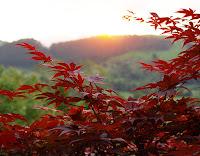 Acer japonés (Acer palmatum atropurpureum)