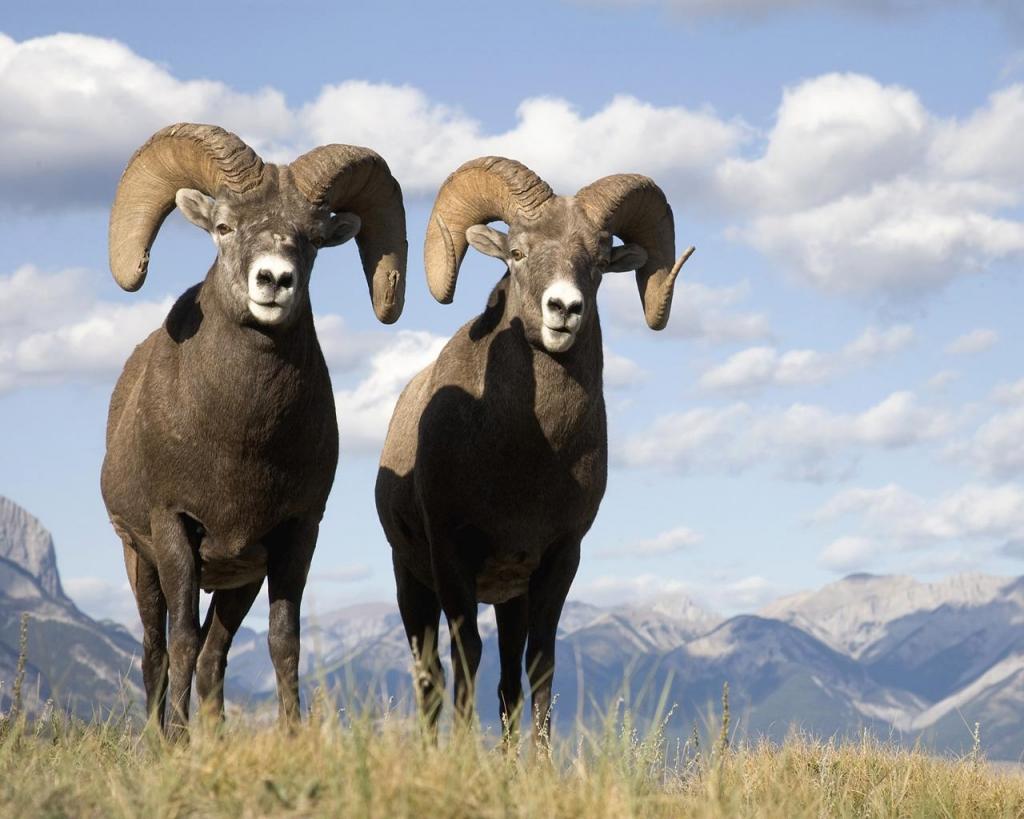 Imagenes De Borrego Cimarron: Animals Of The World: Big Horn Sheep
