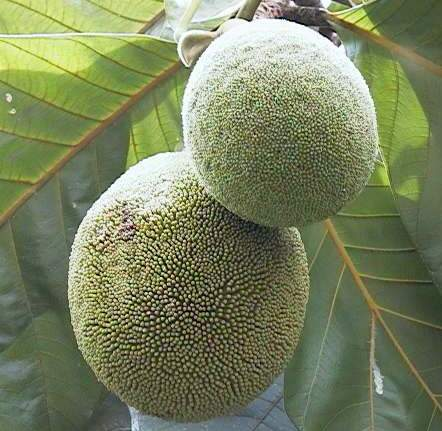 This Common Fruit Found is Everywhere in the Phillippines and is Very Healthy Too! Read Here for More!