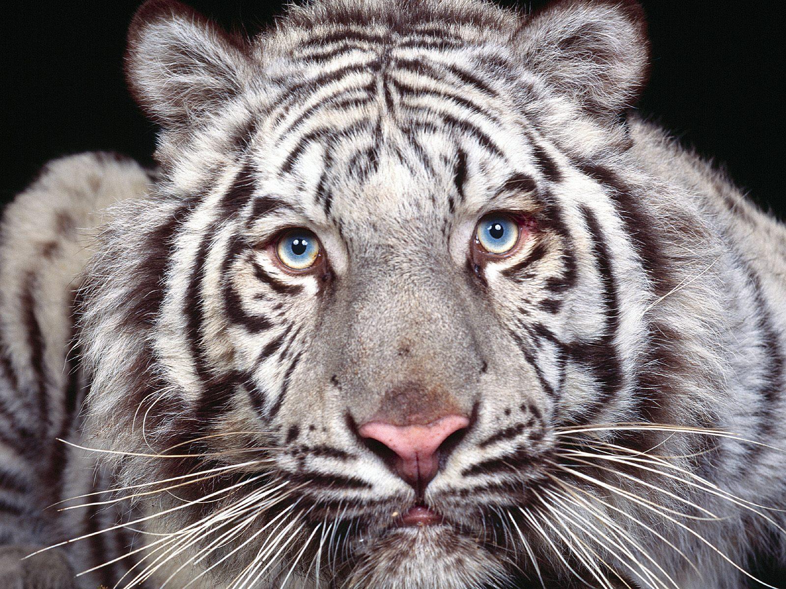 Best Animal Zoo White Tiger