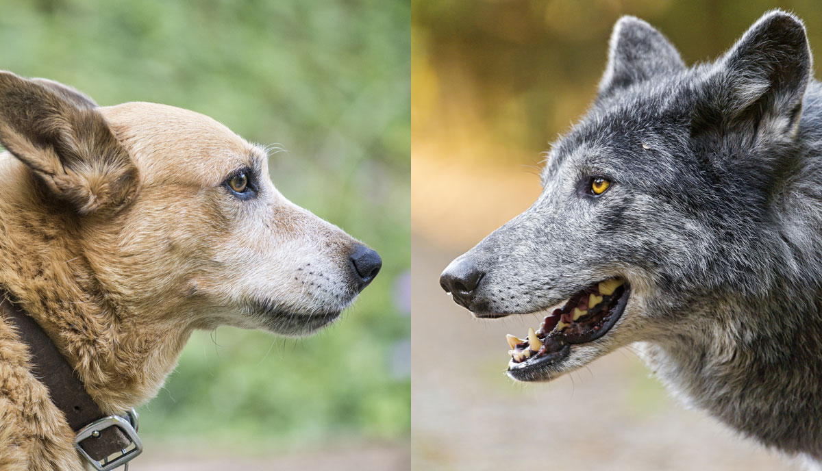 Serigala Dan Anjing