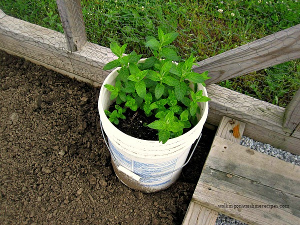 Gardening five tips on how to grow mint in your garden for Gardening 5 gallon bucket