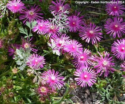 Delosperma cooperi blooms
