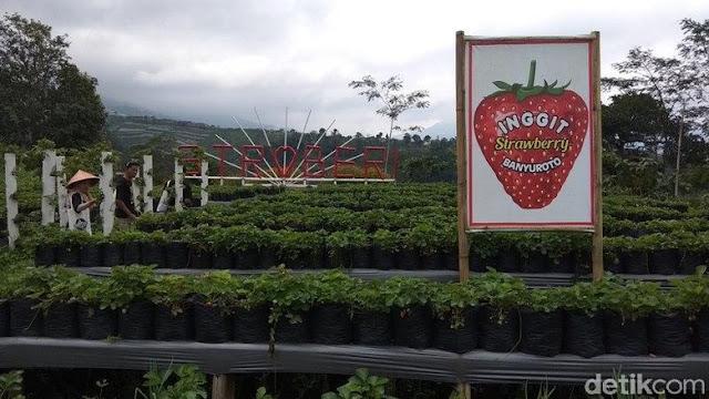 Spot Foto Kebun Inggit Strawberry Magelang