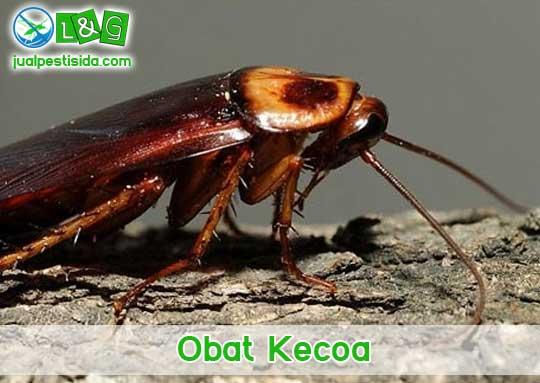 obat kecoa