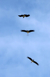 Three storks low over head