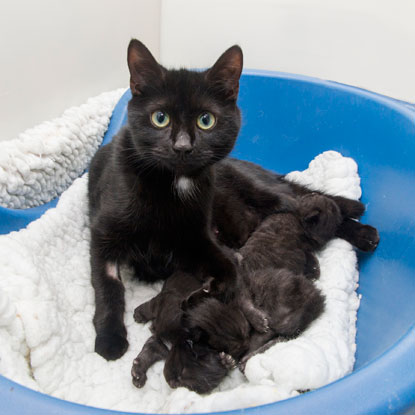 Black cat with litter of kittens