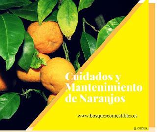 En arboles y arbustos, cuidados y mantenimiento de los naranjos