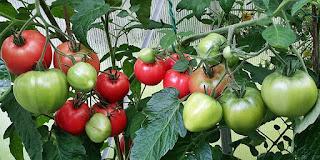 http://tomatprat.blogspot.no/2014/06/grushovka-tomat.html