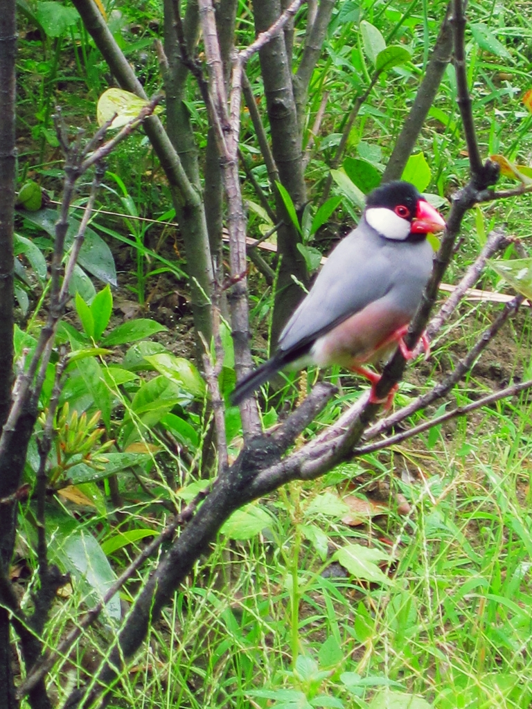 Java Sparrow resting freely in a city park; more than your usual maya. (Photo by Bernard Eirrol Tugade)