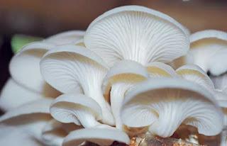 jamur dapat meningkatkan kekebalan tubuh