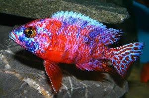 Dunia Ikan Hias - Peacock Cichlid