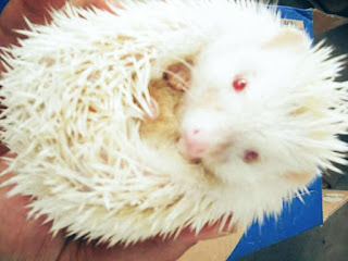 harga dan jenis landak mini albino