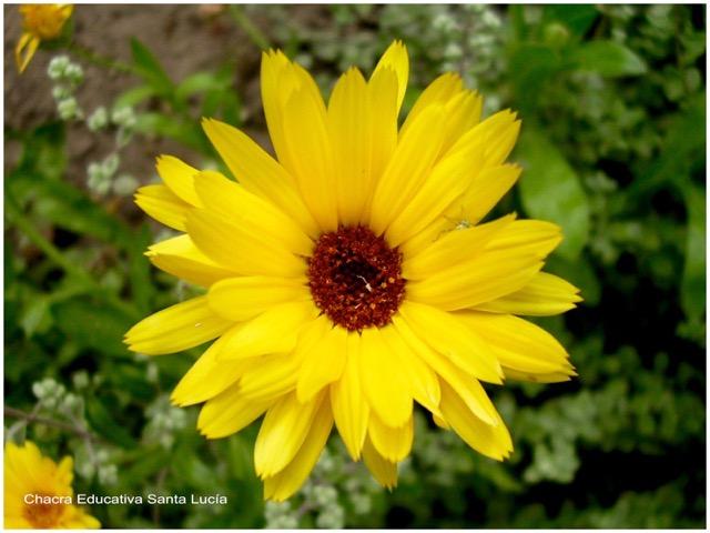 Flor silvestre de pétalos amarillos - Chacra Educativa Santa Lucía