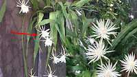 Bunga Wijaya Kusuma Ternyata Banyak Khasiatnya untuk Kesehatan