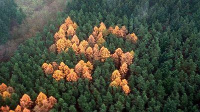 Resultado de imagem para suástica árvores floresta