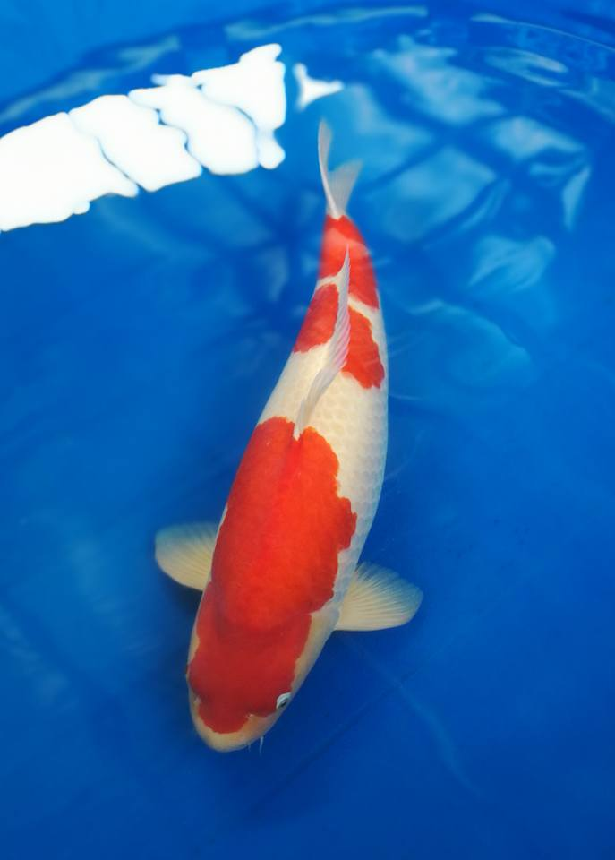 Koi for sale maruyama kohaku size 75 cm now female for Kohaku koi for sale
