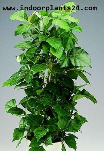 ClSSUS ANTARCTICA indoor plant