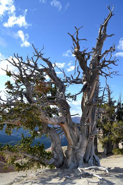 Остистые сосны. Национальный Монумент Сидар Брейкс, Юта (Bristlecone pines. Cedar Breaks National Monument. UT)