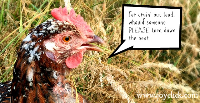 How to keep chickens cool in summer's heat. | Farm Girl ...