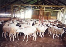 SEMUA BISA: Cara beternak kambing dan domba Paling Mudah ...