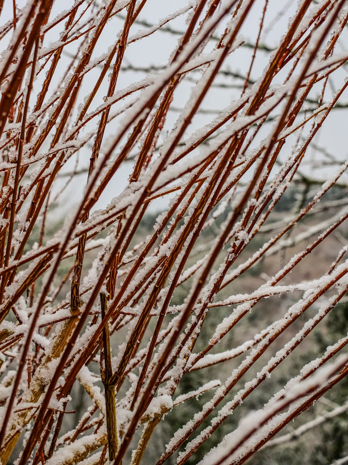 A close up of snow covered Jasmine bush branches.