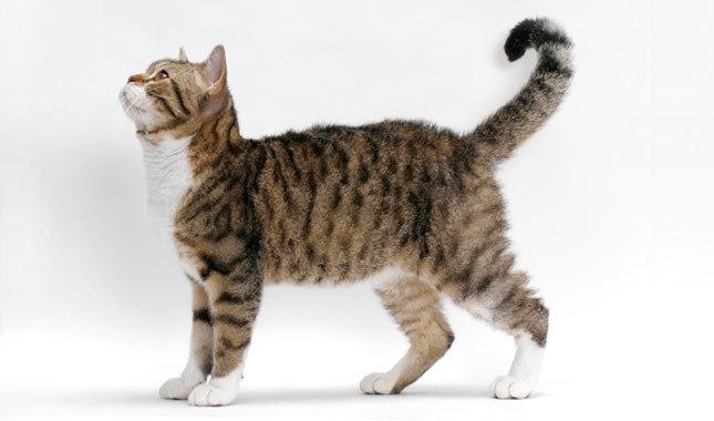 gambar 10 - kucing american wirehair