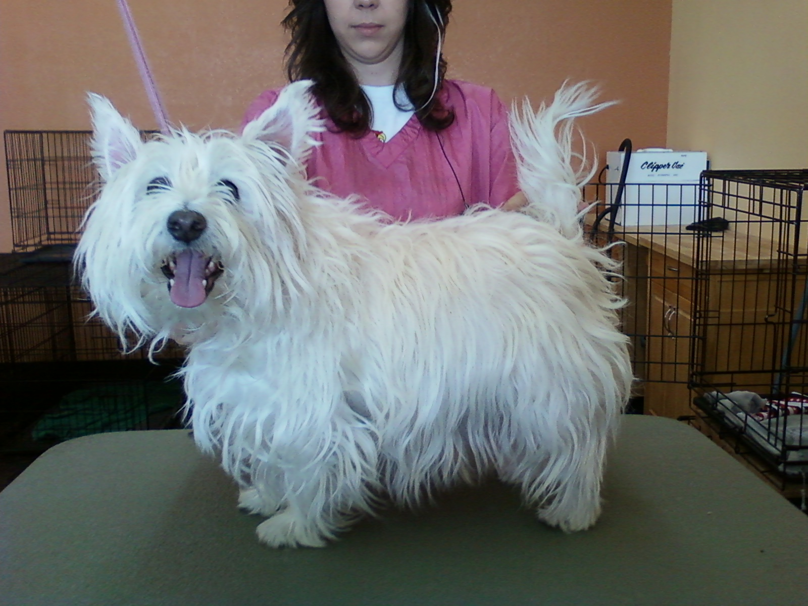 christie henriksen: westie before and after pictures