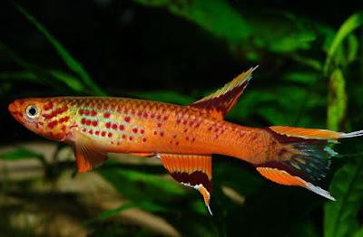 Ikan Killfish