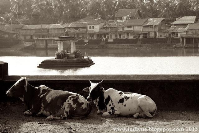 Lehmiä Intian Gokarnassa, 2007
