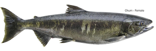 chum female - Jenis Jenis Ikan Salmon