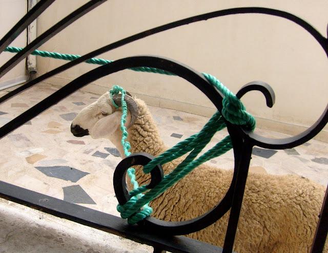 Maroko. Eid el Kebir. Baran ofiarny