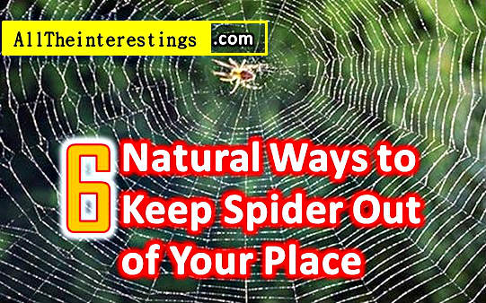 Natural spider repellents are effective and chemical free as opposed to the various over-the-counter product which might seem as the simplest way to solve this problem. Cheap, Easy, and Effective Spider Repellent.  6 Natural Ways to Keep Spider Out of Your Home