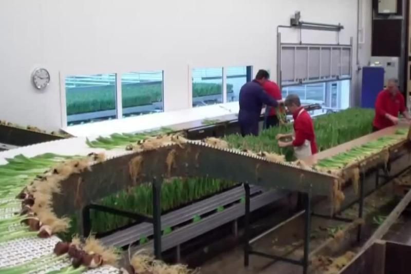 Procesado del tulipán en la granja