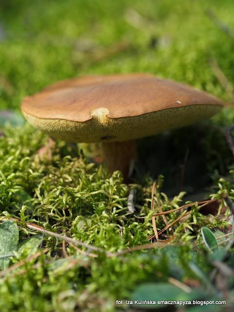 borowik brunatny, grzyby podlasia, jesienne grzybobranie, podlasie 2016, urlop w lesie, na grzyby, grzyby gatunkami, puszcza białowieska