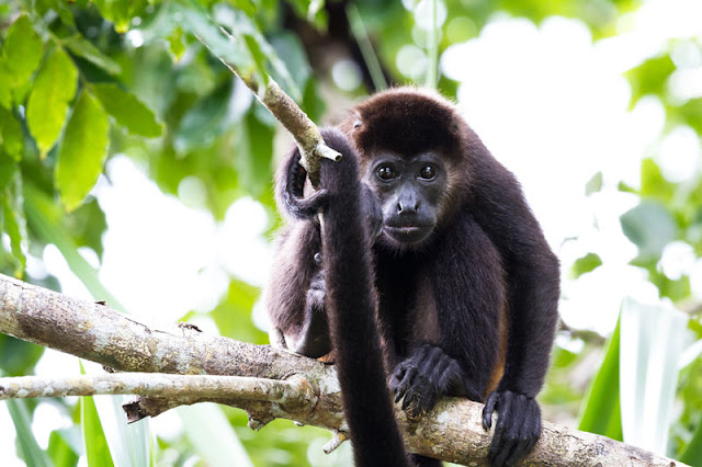 A mantled howler monkey up a tree