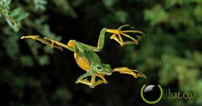 Katak Terbang