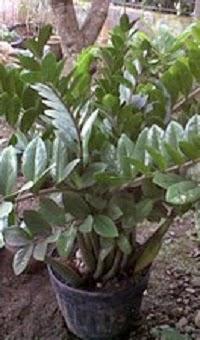 Tanaman Dollar (Zamioculcas zamifolia)